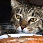 Рацион кастрированных котов и кошек